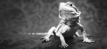 Why Gut-load? AKA I bought a lizard. Now, what?